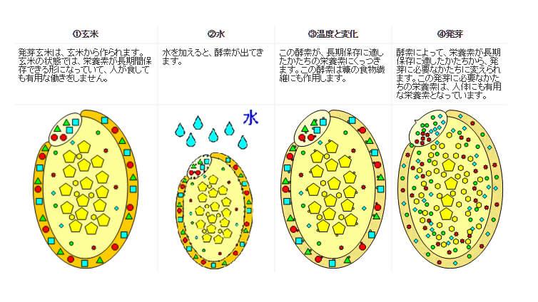 発芽玄米のメカニズム